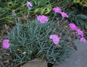 Dianthus-deltoides-300x233