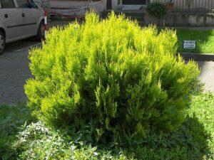 white-cedar-thuja-cupressaceae